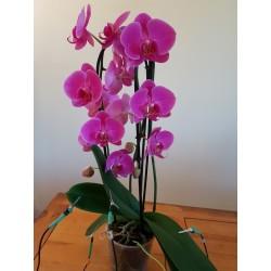 Orchidée de salon