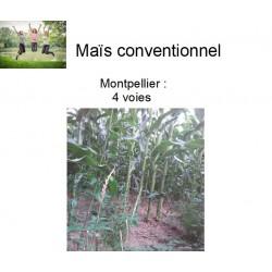Maïs conventionnel